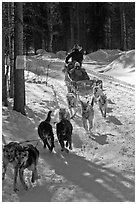 Sled dog team running through curve. Chena Hot Springs, Alaska, USA (black and white)