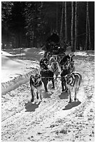 Dog mushing team on forest trail. Chena Hot Springs, Alaska, USA ( black and white)