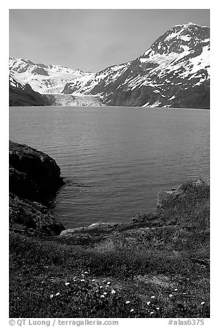 Lupine, mountains, and glaciers across Harriman Fjord. Prince William Sound, Alaska, USA (black and white)