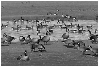 Migrating birds at Creamer's field. Fairbanks, Alaska, USA ( black and white)