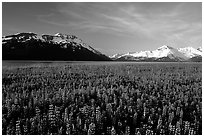Lupine and snowy mountains near Portage. Alaska, USA ( black and white)