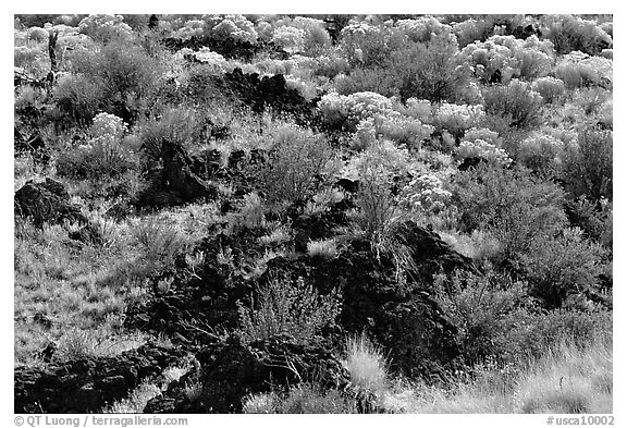 Yellow sage flowers and lava, Lava Beds National Monument. California, USA (black and white)