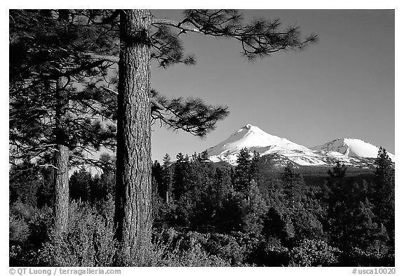 Pines and Mt Shasta seen from the North, late afteroon. California, USA (black and white)