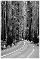 Car on road amongst tall redwood trees, Richardson Grove State Park. California, USA ( black and white)