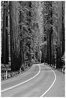 Curved road amongst tall redwood trees, Richardson Grove State Park. California, USA (black and white)
