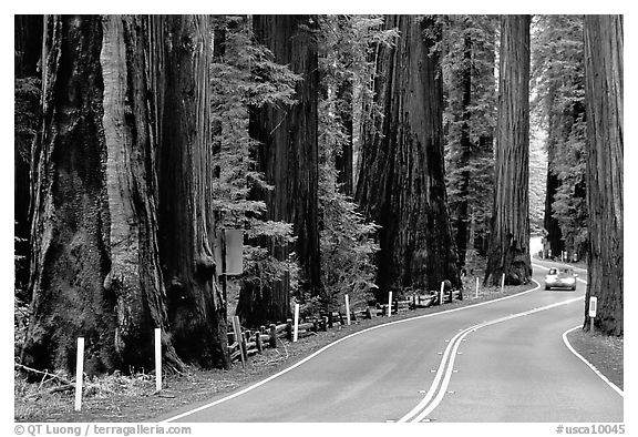 Car on road in redwood forest, Richardson Grove State Park. California, USA (black and white)