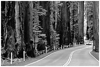 Car on road in redwood forest, Richardson Grove State Park. California, USA ( black and white)