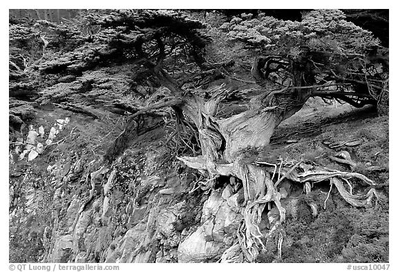 Old Veteran Cypress. Point Lobos State Preserve, California, USA (black and white)
