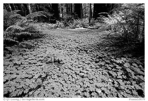 Forest floor covered with trilium. California, USA (black and white)