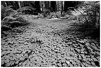 Forest floor covered with trilium. California, USA ( black and white)