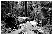 Fallen Redwoods trees, Humbolt State Park. California, USA ( black and white)