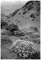 Bright yellow flowers and hikers in the background, Mt Diablo State Park. California, USA (black and white)