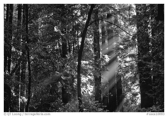 Sunrays in forest. Muir Woods National Monument, California, USA (black and white)