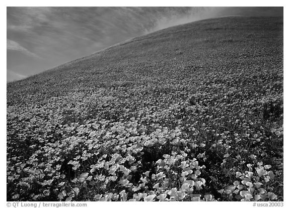 California Poppies, purple flowers,  and hill. Antelope Valley, California, USA (black and white)
