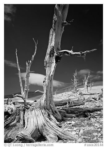 Dead standing Bristlecone pine trees,  White Mountains. California, USA (black and white)