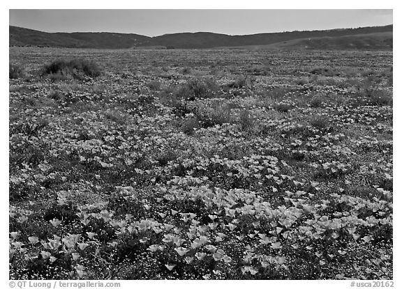 California Poppies and goldfields. Antelope Valley, California, USA (black and white)