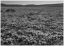 California Poppies and goldfields. Antelope Valley, California, USA ( black and white)