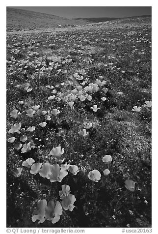Bright orange California Poppies, hills W of the Preserve. Antelope Valley, California, USA (black and white)