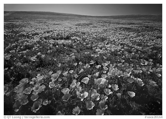 Field of bright orange California Poppies. Antelope Valley, California, USA (black and white)