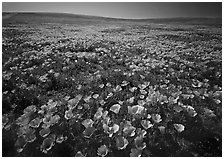 Field of bright orange California Poppies. Antelope Valley, California, USA ( black and white)