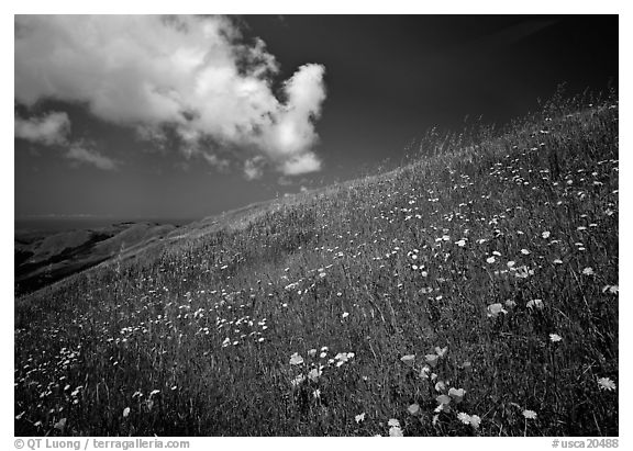 Hillside with wildflowers and cloud, Russian Ridge. Palo Alto,  California, USA (black and white)
