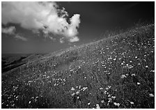 Hillside with wildflowers and cloud, Russian Ridge. Palo Alto,  California, USA ( black and white)