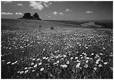 Wildflower carpet and tree cluster, Russian Ridge. Palo Alto,  California, USA ( black and white)