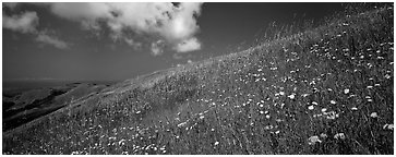 Landscape with grassy hills, wildflowers, and cloud. Palo Alto,  California, USA (Panoramic black and white)