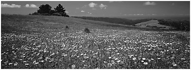 Spring landscape with wildflower carpet. Palo Alto,  California, USA (Panoramic black and white)