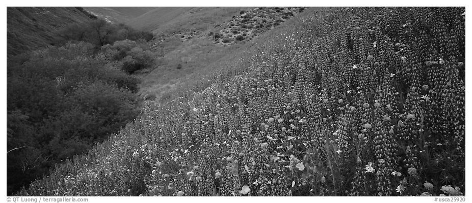Thick lupine and California poppies on hillside. California, USA (black and white)