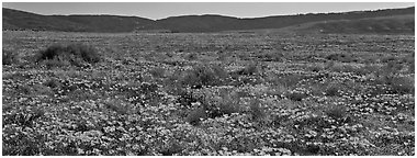 Valley flat covered with California poppies. Antelope Valley, California, USA (Panoramic black and white)
