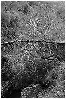 Stone bridge and bare tree,  Alum Rock Park. San Jose, California, USA ( black and white)