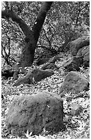 Moss-covered boulders and sycamore,  Alum Rock Park. San Jose, California, USA ( black and white)