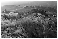 Bush and hills, sunrise, Fort Ord National Monument. California, USA ( black and white)