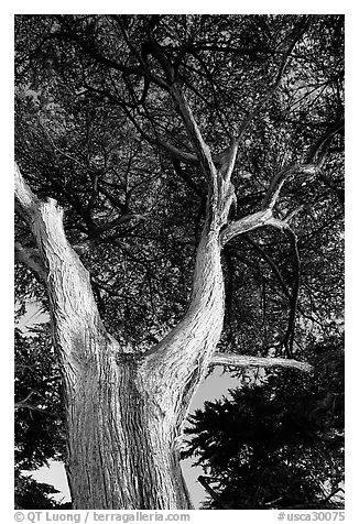 Monterey Pine at Lover's Point. Pacific Grove, California, USA (black and white)