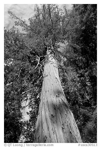 Redwood tree, looking upwards. Big Basin Redwoods State Park,  California, USA (black and white)