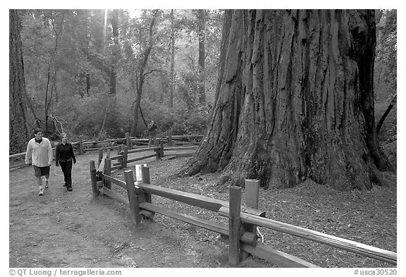 Visitors near the tree named Mother of the Forest, a 329 foot high tree. Big Basin Redwoods State Park,  California, USA