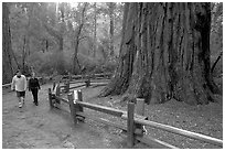 Visitors near the tree named Mother of the Forest, a 329 foot high tree. Big Basin Redwoods State Park,  California, USA (black and white)