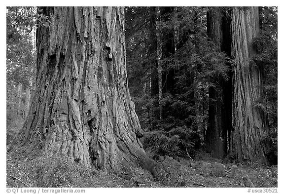 Redwood trees. Big Basin Redwoods State Park,  California, USA (black and white)
