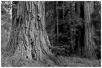 Redwood trees. Big Basin Redwoods State Park,  California, USA ( black and white)