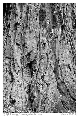 Detail of redwood tree bark. Big Basin Redwoods State Park,  California, USA (black and white)
