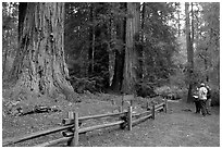 Visitors look at redwood trees. Big Basin Redwoods State Park,  California, USA (black and white)