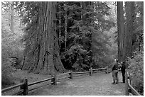 Visitors standing amongst redwood trees. Big Basin Redwoods State Park,  California, USA (black and white)