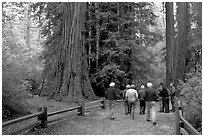 Visitors walking on trail amongst redwood trees. Big Basin Redwoods State Park,  California, USA (black and white)