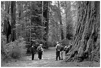 Visitors amongst redwood trees. Big Basin Redwoods State Park,  California, USA (black and white)