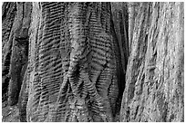 Trunks of redwood trees with curious texture. Big Basin Redwoods State Park,  California, USA (black and white)