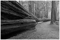 Fallen giant redwood. Big Basin Redwoods State Park,  California, USA (black and white)
