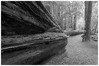 Visitor looking at fallen redwood tree. Big Basin Redwoods State Park,  California, USA (black and white)