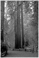 Visitor standing at the base of tall redwood trees. Big Basin Redwoods State Park,  California, USA (black and white)