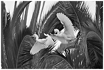 Two egrets in tree, Baylands. Palo Alto,  California, USA ( black and white)
